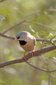 long-tailed-finch-picture;long-tailed-finch;long-tailed-finch;poephila-acuticauda;australian-finch;australian-finches;finch;finches;australian-national-parks;purnululu-national-park;bungle-bungles;kimberley;western-australia;steven-david-miller