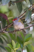 red-browed-firetail-picture;red-browed-finch;red-browed-finch;red-browed-firetail;red-browed-firetail;neochmia-temporalis;australian-finch;australian-finches;finch;finches;firetail;firetails-gloucester-tops;gloucester;barrington-tops;new-south-wales;new-south-wales-birds;steven-david-miller;natural-wanders
