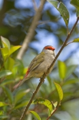 red-browed-firetail-picture;red-browed-finch;red-browed-finch;red-browed-firetail;red-browed-firetail;neochmia-temporalis;australian-finch;australian-finches;finch;finches;firetail;firetails-gloucester-tops;gloucester;new-south-wales;new-south-wales-birds;steven-david-miller;natural-wanders