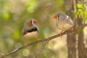 zebra-finch-picture;zebra-finch;taeniopygia-guttata;finch;finches;australian-finch;australian-finches;two-finches;finch-pair;pair-of-birds;male-and-female-birds;purnululu-national-park;australian-national-parks;bungle-bungles;kimberley;western-australia;kimberley-birds;steven-david-miller;natural-wanders