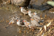 zebra-finch-flock;taeniopygia-guttata;poephila-guttata;birds-bathing;finches-bathing;flock-of-finches;alice-springs-desert-park