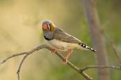 zebra-finch-picture;zebra-finch;taeniopygia-guttata;finch;finches;australian-finch;australian-finches;purnululu-national-park;australian-national-parks;bungle-bungles;kimberley;western-australia;kimberley-birds;steven-david-miller;natural-wanders