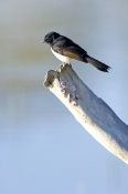 willie-wagtail-picture;willie-wagtail;juvenile-willie-wagtail;fantail;flycatcher;rhipidura-leucophrys;muloorina;muloorina-station;oodnadatta-track;south-australia;artesian-bore-wetland;great-artesian-basin-wetland;steven-david-miller;natural-wanders