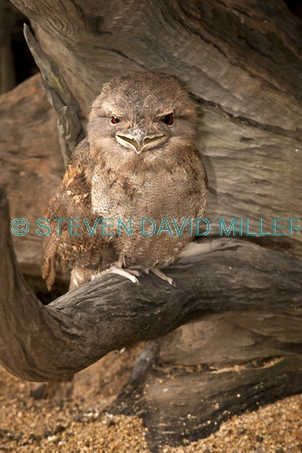 papuan frogmouth picture;papuan frogmouth;frogmouth podargus papuensis;australian frogmouth;australian bird;cape york bird;frogmouth portrait;frogmouth close-up;bird with red eye;cairns;queensland;cairns rainforest dome;dignified;serious;stern;camouflage;vertical bird picture;vertical frogmouth picture;steven david miller