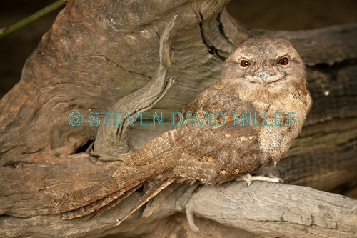 papuan frogmouth picture;papuan frogmouth;frogmouth;podargus papuensis;australian frogmouth;australian bird;cape york bird;frogmouth portrait;frogmouth close-up;bird with red eye;cairns;queensland;cairns rainforest dome;dignified;serious;stern;camouflage;steven david miller;natural wanders