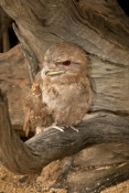 papuan-frogmouth-picture;papuan-frogmouth;frogmouth;podargus-papuensis;australian-frogmouth;australian-bird;cape-york-bird;frogmouth-portrait;frogmouth-close-up;bird-with-red-eye;cairns;queensland;cairns-rainforest-dome;dignified;serious;stern;camouflage;steven-david-miller;natural-wanders