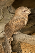 papuan-frogmouth-picture;papuan-frogmouth;frogmouth;podargus-papuensis;australian-frogmouth;australian-bird;cape-york-bird;frogmouth-portrait;frogmouth-close-up;bird-with-red-eye;bird-stretching-wings;stretching;cairns;queensland;cairns-rainforest-dome;dignified;serious;stern;camouflage;steven-david-miller;natural-wanders