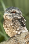 papuan-frogmouth;frogmouth;podargus-papuensis;australian-frogmouth;australian-bird;cape-york-bird;frogmouth-portrait;frogmouth-close-up;bird-with-red-eye;kuranda;queensland;the-rainforest-station;dignified;serious;stern;steven-david-miller;natural-wanders