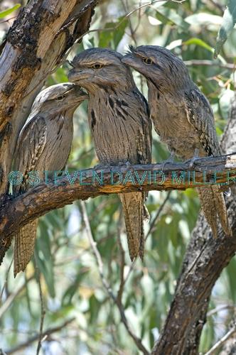 tawny frogmouth picture;tawny frogmouth;tawny frogmouths;frogmouth;australian frogmouth;podargus strigoides;bird with yellow eye;australian bird;camouflaged bird;carnarvon;western australia;three birds;steven david miller;natural wanders
