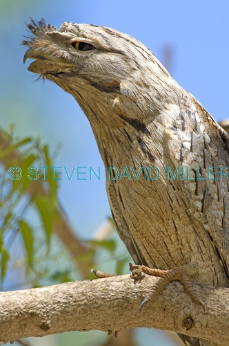 tawny frogmouth picture;tawny frogmouth;frogmouth;australian frogmouth;podargus strigoides;bird with yellow eye;australian bird;broome;western australia;broome bird observatory;steven david miller;natural wanders