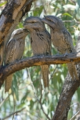 tawny-frogmouth-picture;tawny-frogmouth;tawny-frogmouths;frogmouth;australian-frogmouth;podargus-strigoides;bird-with-yellow-eye;australian-bird;camouflaged-bird;carnarvon;western-australia;three-birds;steven-david-miller;natural-wanders