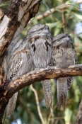 tawny-frogmouth-picture;tawny-frogmouth;tawny-frogmouths;tawny-frogmouth-sleeping;bird-sleeping;frogmouth;australian-frogmouth;podargus-strigoides;bird-with-yellow-eye;australian-bird;camouflaged-bird;carnarvon;western-australia;three-birds;steven-david-miller;natural-wanders