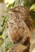 tawny-frogmouth-picture;tawny-frogmouth;frogmouth;frogmouths;australian-frogmouth;podargus-strigoides;bird-with-yellow-eye;camouflage;the-wildlife-habitat;the-rainforest-habitat