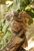 tawny-frogmouth-picture;tawny-frogmouth;frogmouth;frogmouths;australian-frogmouth;podargus-strigoides;bird-with-yellow-eye;camouflage;the-wildlife-habitat;the-rainforest-habitat;bird-stretching;stretching