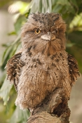 tawny-frogmouth-picture;tawny-frogmouth;frogmouth;frogmouths;australian-frogmouth;podargus-strigoides;bird-with-yellow-eye;camouflage;the-wildlife-habitat;the-rainforest-habitat;ruffled-feathers;bird-ruffling-feathers