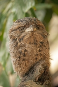 tawny-frogmouth-picture;tawny-frogmouth;frogmouth;frogmouths;australian-frogmouth;podargus-strigoides;bird-with-yellow-eye;camouflage;the-wildlife-habitat;the-rainforest-habitat;bird-sleeping