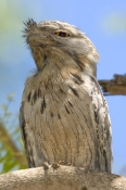 tawny-frogmouth-picture;tawny-frogmouth;frogmouth;australian-frogmouth;podargus-strigoides;bird-with-yellow-eye;australian-bird;broome;western-australia;broome-bird-observatory;steven-david-miller;natural-wanders