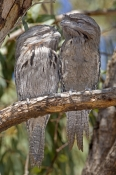 tawny-frogmouth-picture;tawny-frogmouth;frogmouth;frogmouths;frogmouth-sleeping;bird-sleeping;australian-frogmouth;podargus-strigoides;bird-with-yellow-eye;australian-bird;carnarvon;western-australia;steven-david-miller;natural-wanders