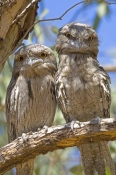 tawny-frogmouth-picture;tawny-frogmouth;frogmouth;frogmouths;australian-frogmouth;podargus-strigoides;bird-with-yellow-eye;australian-bird;carnarvon;western-australia;steven-david-miller;natural-wanders