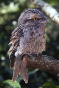 tawny-frogmouth-picture;tawny-frogmouth;frogmouth;australian-frogmouth;podargus-strigoides;bird-with-yellow-eye;australian-bird;camouflaged-bird;currumbin-wildlife-sanctuary;gold-coast;queensland;steven-david-miller;natural-wanders