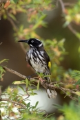 new-holland-honeyeater-picture;new-holland-honeyeater;new-holland-honey-eater;honeyeater;australian-honeyeater;phylidonyris-nigra;gloucester-national-park;western-australia;steven-david-miller;natural-wanders