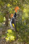 new-holland-honeyeater-picture;new-holland-honeyeater;new-holland-honey-eater;australian-honeyeater;honeyeater;honeyeater-feeding-on-flower;bird-feeding-on-flower;phylidonyris-novaehollandiae;bird-eating-flower-necter;cape-range-national-park;western-australia;steven-david-miller;natural-wanders