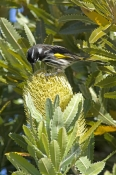 new-holland-honeyeater-picture;new-holland-honeyeater;new-holland-honey-eater;australian-honeyeater;honeyeater;honeyeater-on-banksia;bird-on-banksia;bruny-island;tasmania;phylidonyris-novaehollandiae-steven-david-miller;natural-wanders