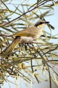 singing-honeyeater-picture;singingin-honeyeater;singing-honey-eater-australian-honeyeater;honeyeater;lichenostomus-virescens;honeyeater-in-tree;maloorina;oodnadatta-track;south-australia;steven-david-miller;natural-wanders