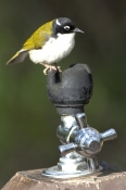 white-naped-honeyeater;picture;white-naped-honeyeater;white-naped-honeyeater;white-naped-honey-eater;honeyeater;australian-honeyeater;gloucester-national-park;western-australia;bird-on-water-fountain;melithreptus-lunatus;steven-david-miller;natural-wanders