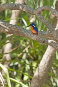 azure-kingfisher-picture;azure-kingfisher;river-kingfisher;alcedo-azurea;corroboree-billabong;mary-river;mary-river-wetland;billabong;far-north;northern-territory;australian-kingfishers;australia;steven-david-miller;natural-wanders