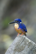azure-kingfisher-picture;azure-kingfisher;kingfisher;australian-kingfishers;australian-wet-tropics;daintree;alcedo-azurea;daintree-river;north-queensland;steven-david-miller;natural-wanders