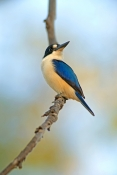 forest-kingfisher-picture;forest-kingfisher;tree-kingfisher;australian-kingfisher;kingfisher;todiramphus-macleayii;halcyon-macleayii;kingfisher-on-tree-branch;kingfisher-with-blue-feathers;bird-with-beautiful-feathers;beautiful-bird;mary-river;northern-territory;australia;birds-of-the-top-end;blue-and-white;steven-david-miller;natural-wanders