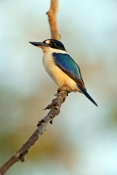 forest-kingfisher-picture;forest-kingfisher;tree-kingfisher;australian-kingfisher;male-kingfisher;todiramphus-macleayii;halcyon-macleayii;kingfisher-on-tree-branch;kingfisher-with-blue-feathers;bird-with-beautiful-feathers;beautiful-bird;mary-river;northern-territory;australia;birds-of-the-top-end;blue-and-white;steven-david-miller;natural-wanders