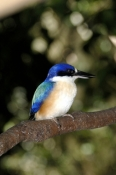 forest-kingfisher-picture;forest-kingfisher;tree-kingfisher;australian-kingfisher;todiramphus-macleayii;halcyon-macleayii;kingfisher-on-tree-branch;kingfisher-with-blue-feathers;bird-with-beautiful-feathers;beautiful-bird;bird-world;kuranda;north-queensland;blue-and-white;steven-david-miller;natural-wanders