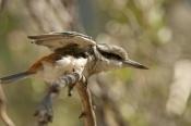 bird-stretching;red-backed-kingfisher;todiramphus-pyrrhopygius;alice-springs-desert-park;australian-