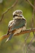 red-backed-kingfisher;todiramphus-pyrrhopygius;alice-springs-desert-park;australian-kingfisher