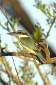 sacred-kingfisher-picture;sacred-kingfisher;todiramphus-sanctus;kingfisher;australian-kingfisher;kingfisher-in-tree;parrys-lagoon-nature-reserve;marlgu-billabong;kimberley;western-australia;wyndam;steven-david-miller