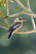 blue-winged-kookaburra-picture;blue-winged-kookaburra;blue-winged-kookaburra;kookaburra;australian-kookaburra;katherine;northern-territory;bird-with-blue-wings;bird-with-large-beak;steven-david-miller;natural-wanders