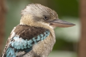 blue-winged-kookaburra-picture;blue-winged-kookaburra;blue-winged-kookaburra;kookaburra;australian-kookaburra;dacelo-leachii;bird-with-blue-wings;bird-with-large-beak;wildlife-habitat;rainforest-habitat;port-douglas;far-north-kookaburra;steven-david-miller;natural-wanders;bird-head-portrait;kookaburra-head-portrait