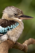 blue-winged-kookaburra-picture;blue-winged-kookaburra;blue-winged-kookaburra;kookaburra;australian-kookaburra;dacelo-leachii;bird-with-blue-wings;bird-with-large-beak;wildlife-habitat;rainforest-habitat;port-douglas;far-north-kookaburra;steven-david-miller;natural-wanders