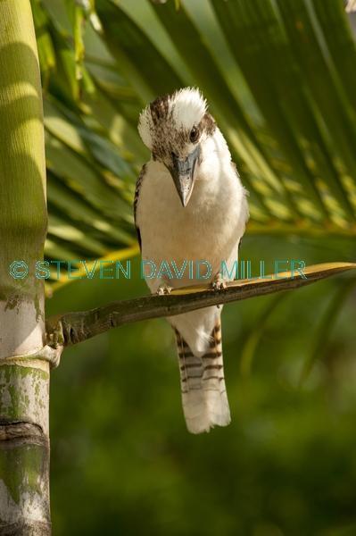 iconic bird;iconic australian bird;iconic bird;iconic australian bird;kookaburra;dacelo novaeguineae;cape hillsborough national park