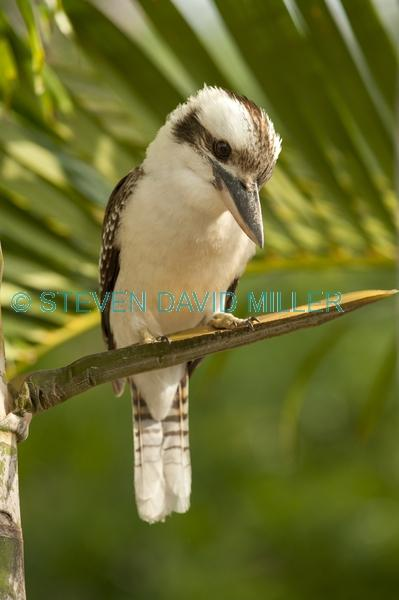 iconic bird;iconic australian bird;kookaburra;dacelo novaeguineae;cape hillsborough national park