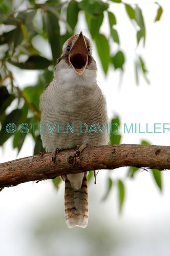 laughing kookaburra picture;laughing kookaburra;kookaburra;kookaburra in tree;kookaburra on branch;kookaburra portrait;australian icon;iconic australian bird;australian kookaburra;lane cove national park;new south wales;steven david miller;natural wanders;kookaburra calling;kookaburra vocalizing