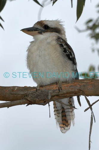 laughing kookaburra picture;laughing kookaburra;kookaburra;kookaburra in tree;kookaburra on branch;kookaburra portrait;australian icon;iconic australian bird;australian kookaburra;lane cove national park;new south wales;steven david miller;natural wanders
