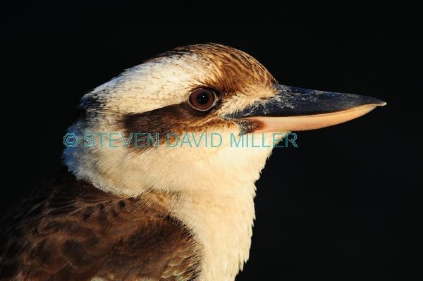 iconic bird;iconic australian bird;australian national park;black background