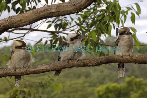 laughing kookaburra picture;laughing kookaburra;kookaburra;kookaburra in tree;kookaburra on branch;kookaburra portrait;australian icon;iconic australian bird;australian kookaburra. three kookaburras;kookaburra trio;group of kookaburras;family of kookaburras;kookaburra family;lane cove national park;new south wales;steven david miller;natural wanders