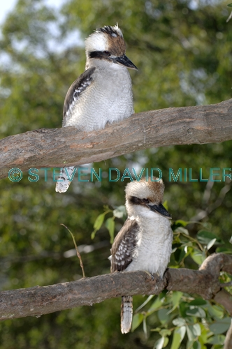 laughing kookaburra picture;laughing kookaburra;kookaburra;kookaburra in tree;kookaburra on branch;kookaburra portrait;australian icon;iconic australian bird;australian kookaburra. two kookaburras;kookaburra pair;kookaburra family;lane cove national park;new south wales;steven david miller;natural wanders