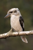 laughing-kookaburra-picture;laughing-kookaburra;kookaburra-on-branch;kookaburra-in-tree;kookaburra-portrait;kookaburra;australian-kookaburra;dacelo-novaeguineae;healesville;victoria;steven-david-miller;natural-wanders;iconic-australian-bird