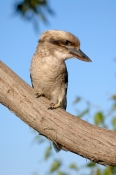 laughing-kookaburra-picture;laughing-kookaburra;kookaburra;kookaburra-in-tree;kookaburra-on-branch;kookaburra-portrait;australian-icon;iconic-australian-bird;australian-kookaburra;lane-cove-national-park;new-south-wales;steven-david-miller;natural-wanders