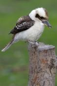 laughing-kookaburra-picture;kookaburra;laughing-kookaburra;australian-kookaburra;dacelo-novaeguineae;australian-icon;iconic-australian-bird;kingfisher;grampians-national-park;victoria;steven-david-miller;natural-wanders
